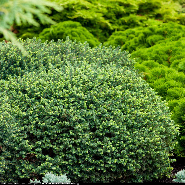 świerk serbski Karel - Picea omorika  Karel