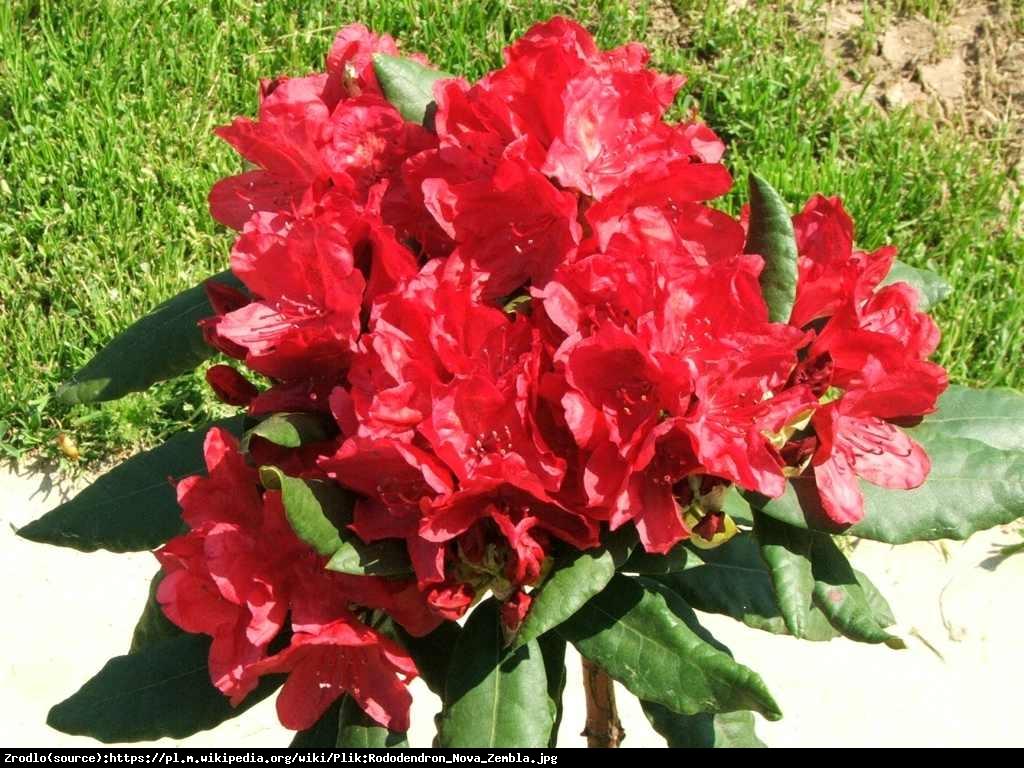 Azalia wielkokwiatowa - Rododendron