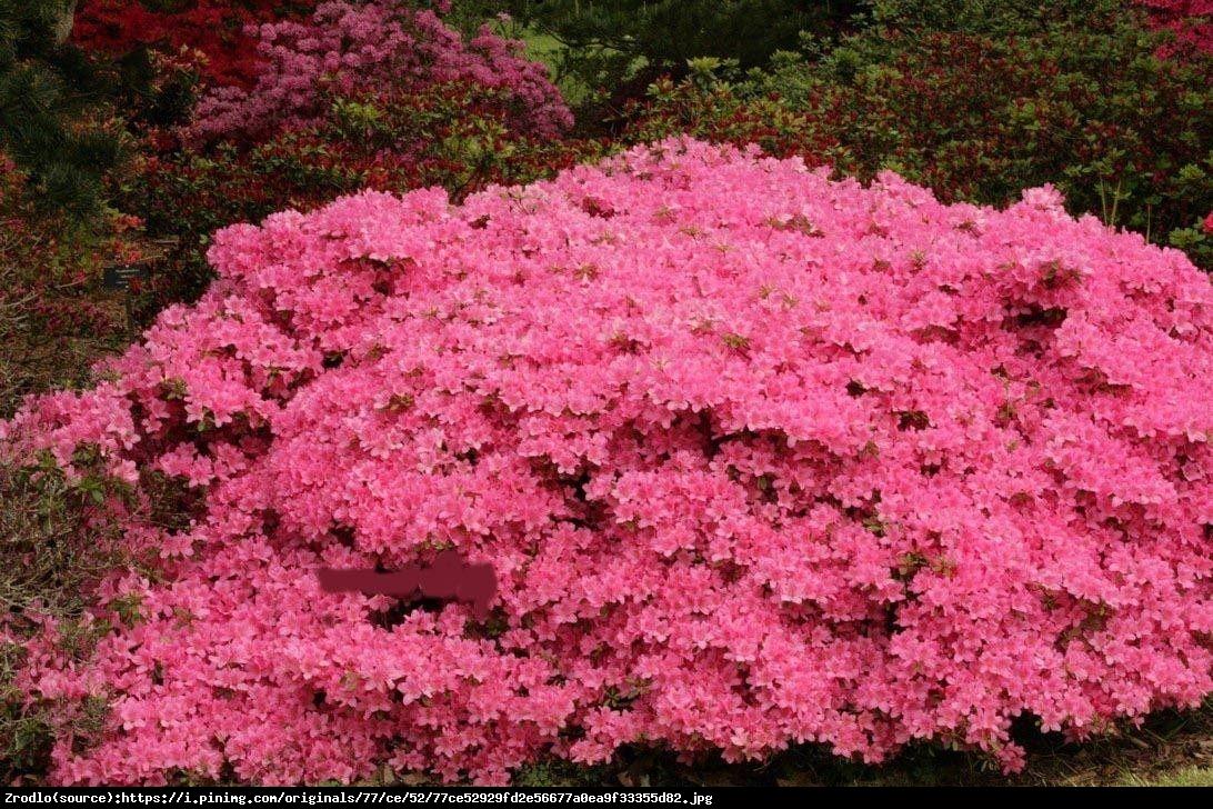 Azalia japońska  - Azalea japonica