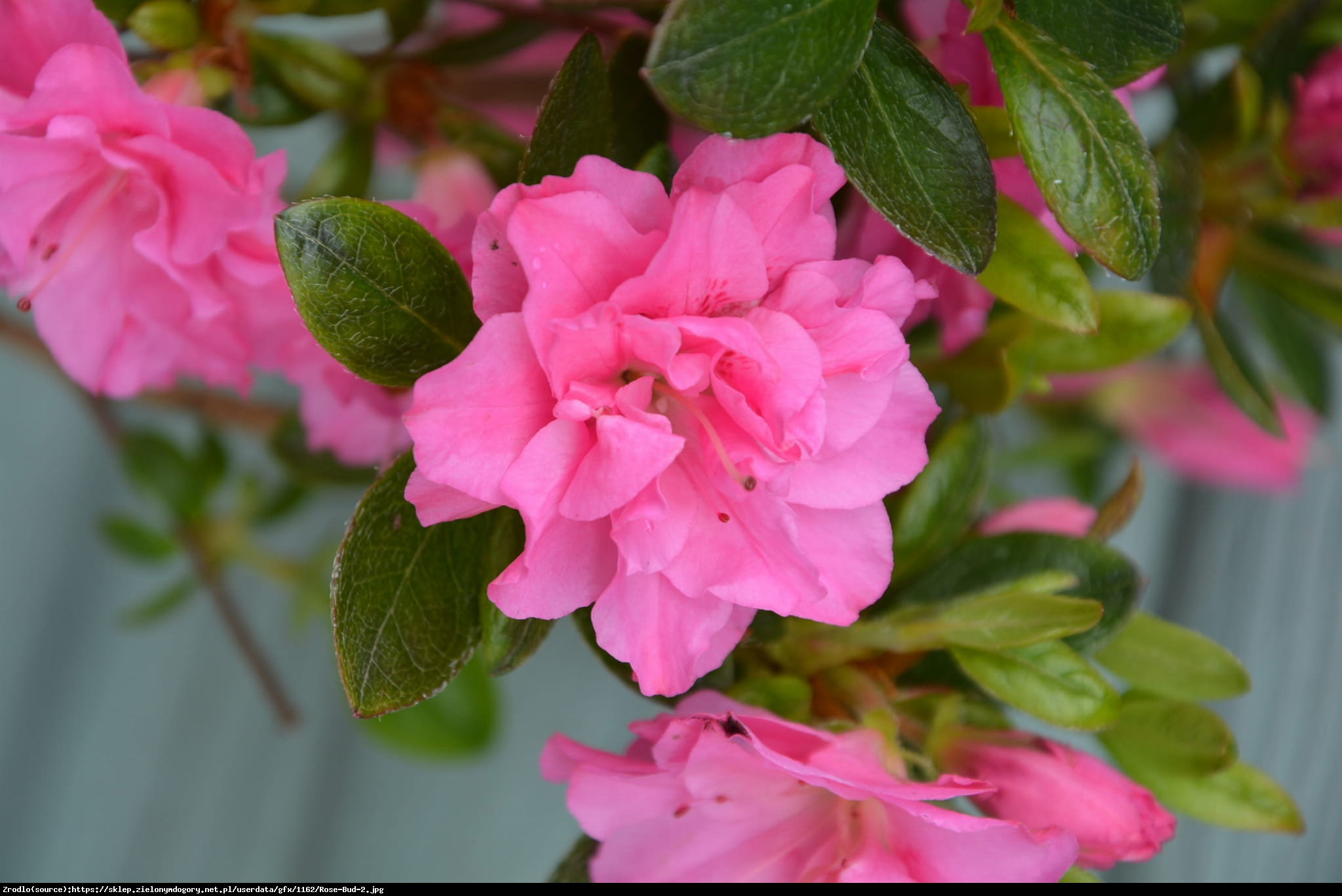 Azalia japońska Rose Bud  - Azalea japonica Rose Bud