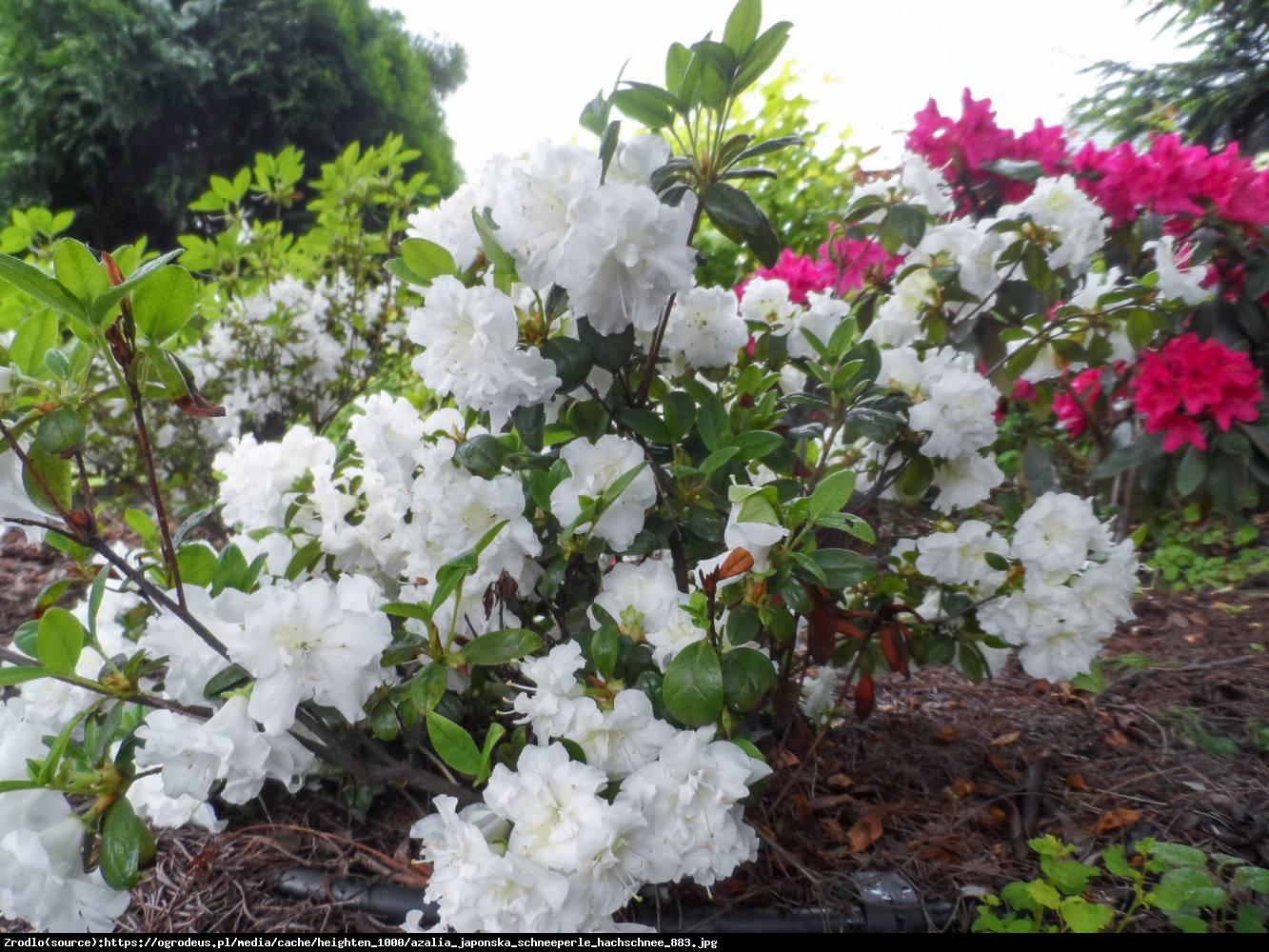 Azalia japońska Schneeperle   - Azalea japonica Schneeperle