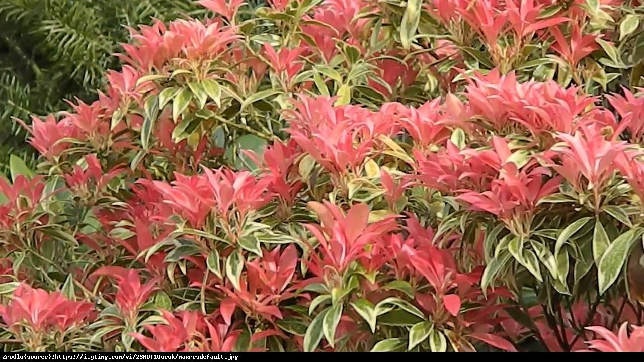 Pieris japoński Variegata - Pieris japonica Variegata