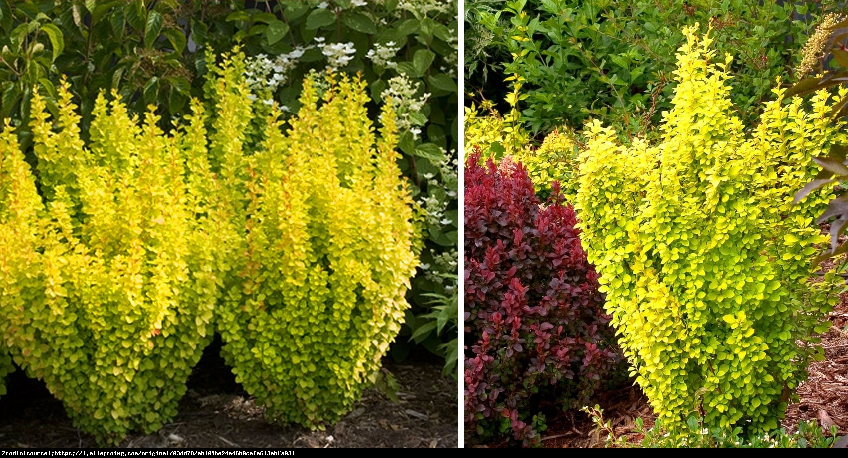 Berberys Thunberga Golden Tower - BERBERIS THUNBERGII GOLDEN TOWER