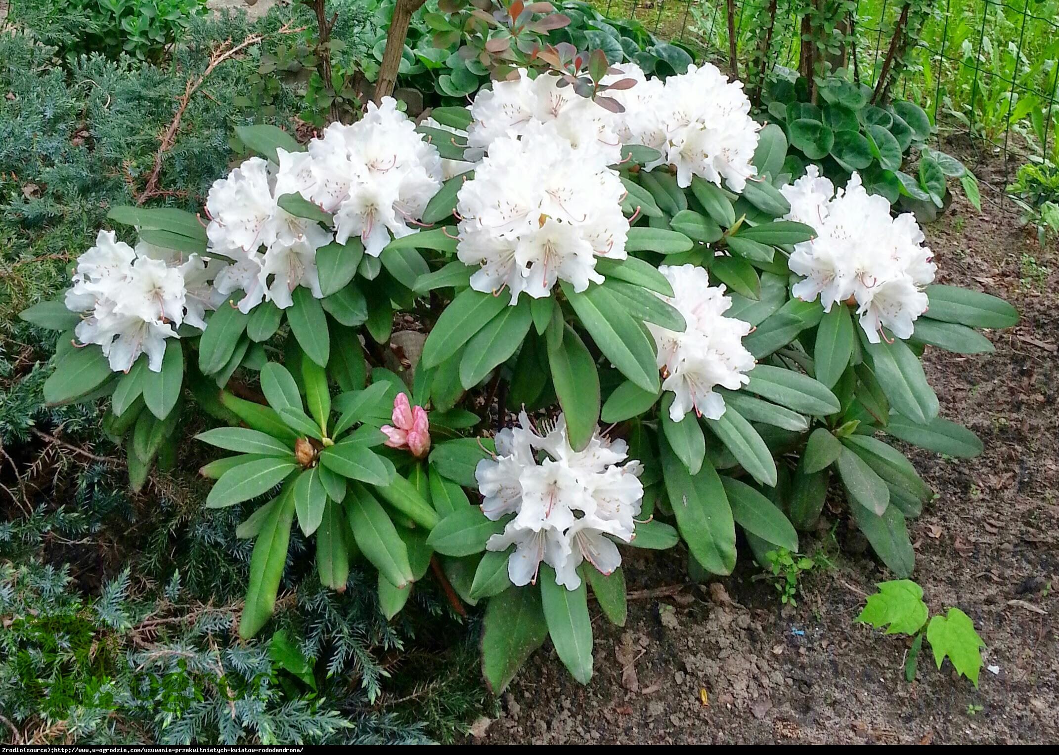 Azalia japońska - Rododendron