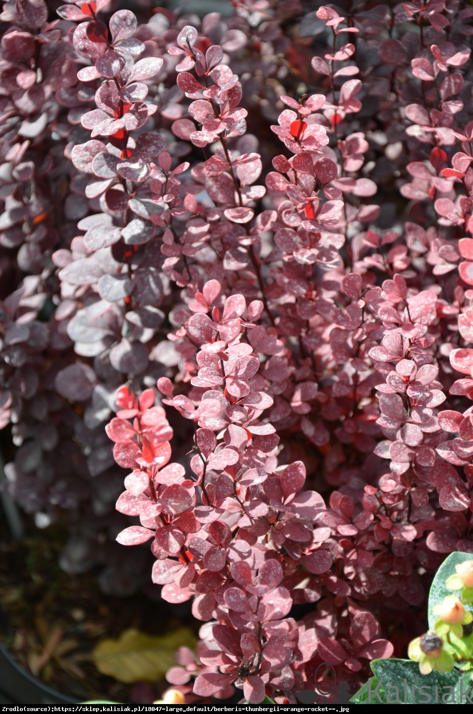Berberys Thunberga Red Rocket  - Berberis thunbergii  Red Rocket