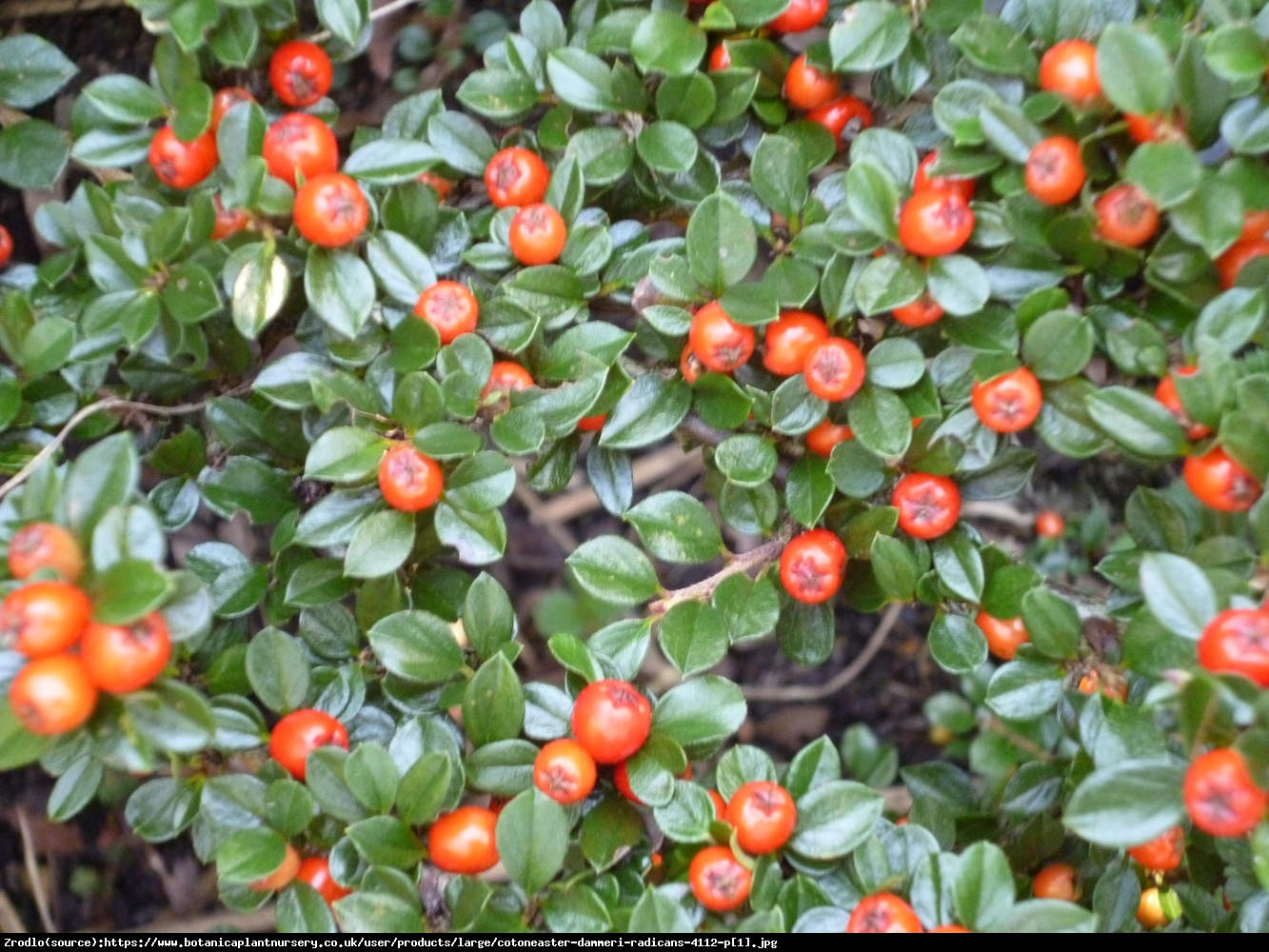 Cotoneaster couvre sol