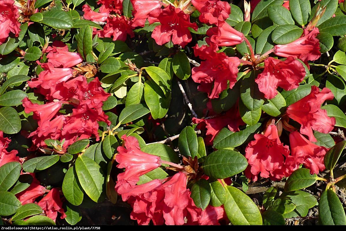 Różanecznik Corinna - Rododendron  Corinna