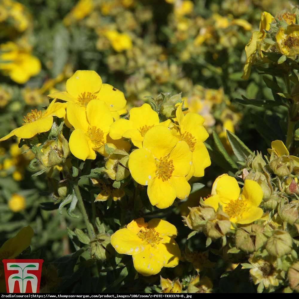 pięciornik krzewiasty Hachmanns Gigant  - Potentilla fruticosa Hachmanns Gigant