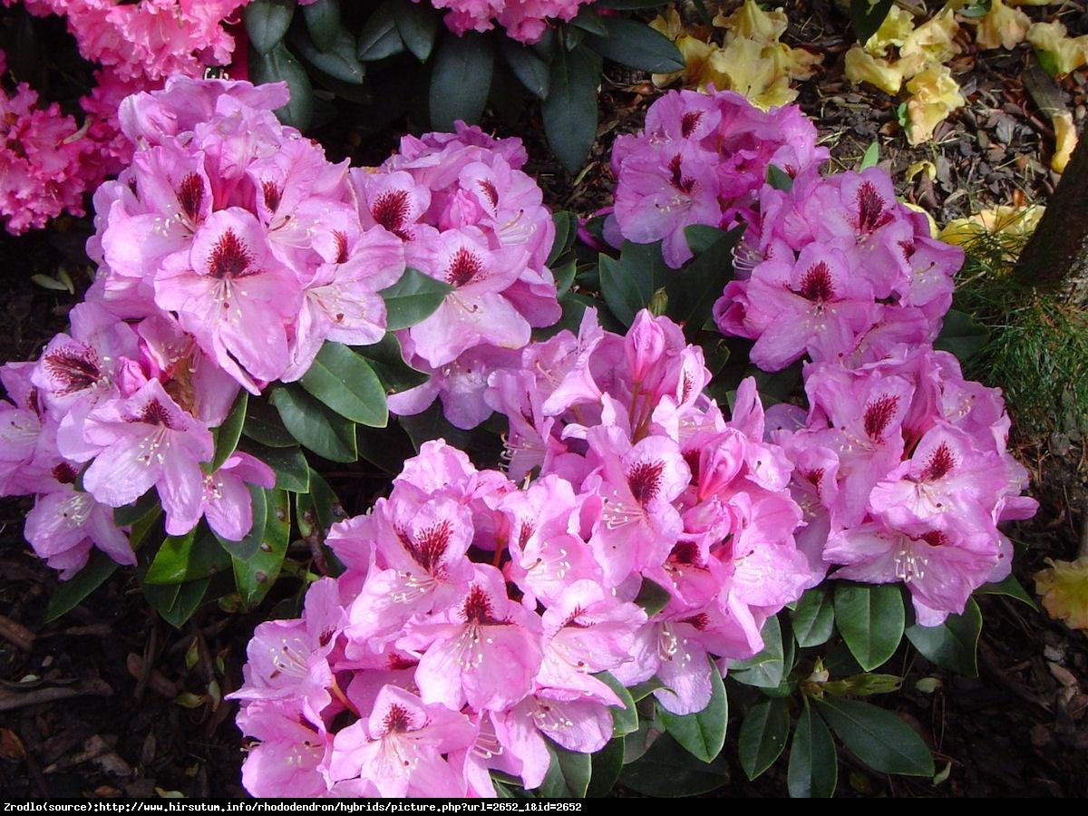 Różanecznik Lugano - Rododendron Lugano