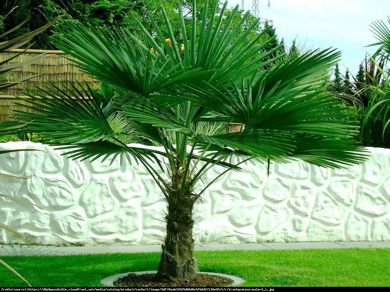 Szorstkowiec Fortunego Palma mrozoodporna - Trachycarpus Fortunei