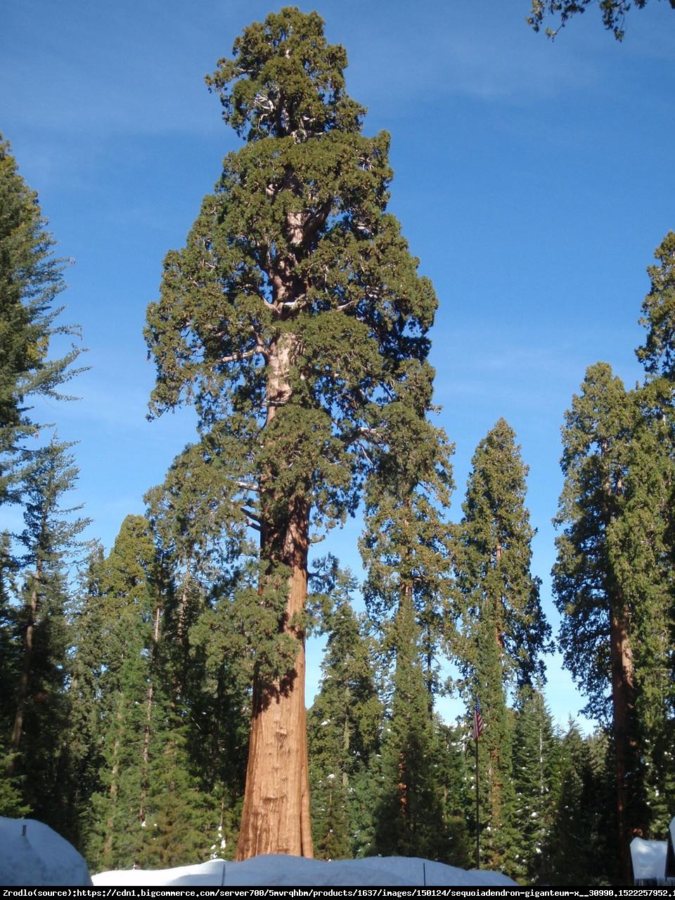 Mamutowiec olbrzymi - sekwoja olbrzymia - Sequoiadendron giganteum