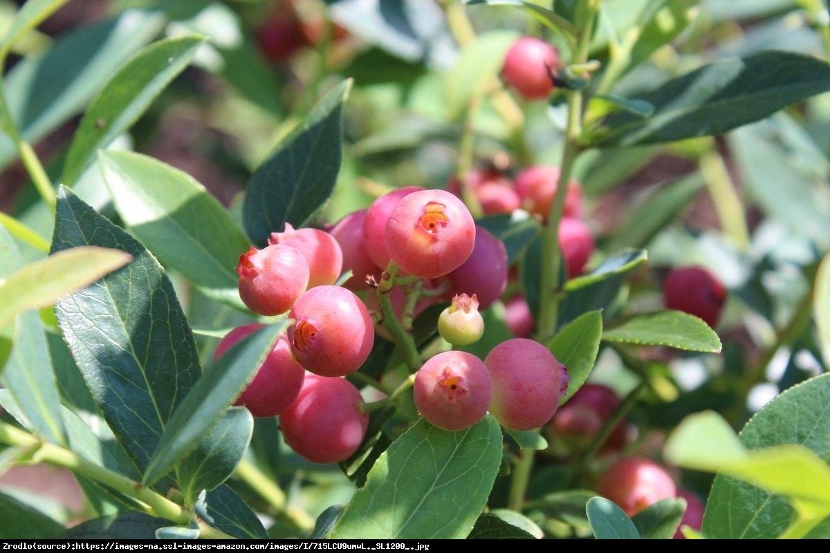 Borówka amerykańska Pink Lemonade 3 letnia - Vaccinium corymbosum Pink Lemonade