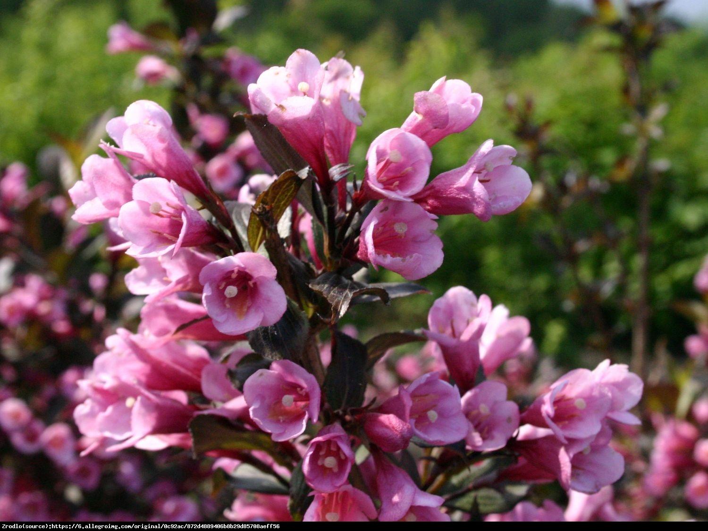 krzewuszka cudowna Nana Purpurea  - Weigela florida Nana Purpurea
