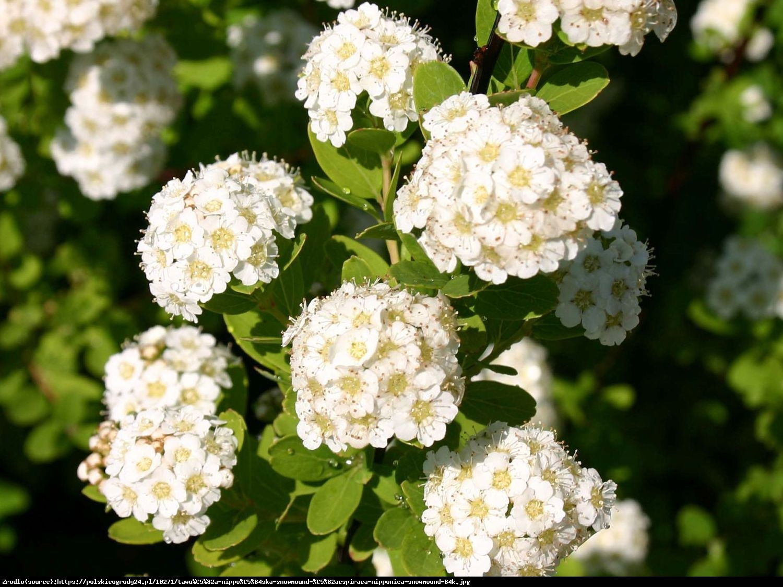 tawuła nippońska WHITE CARPET Gelspir  - Spiraea nipponica WHITE CARPET Gelspir