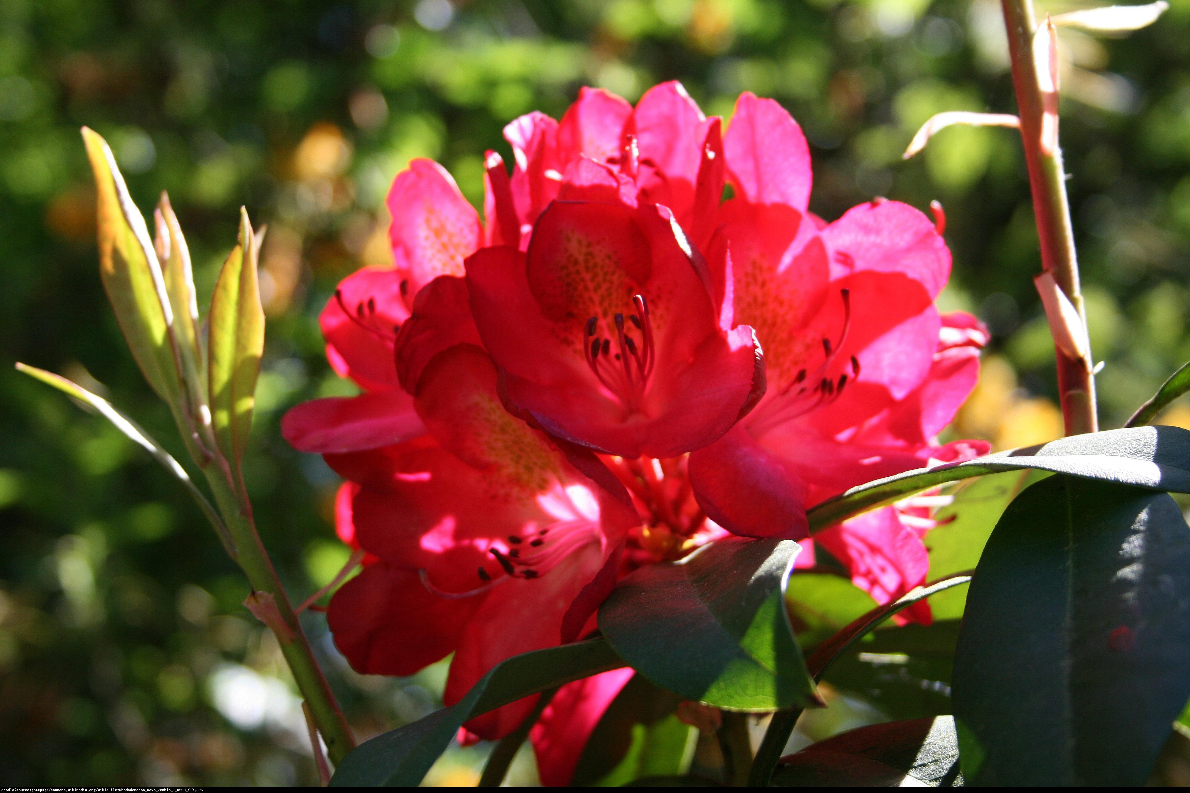 Różanecznik Nova Zembla - Rododendron Nova Zembla