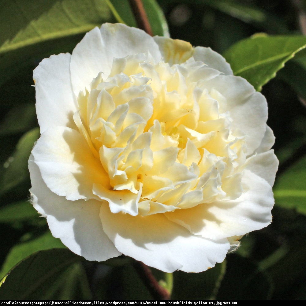 kamelia japonska Brushfields Yellow  - Camellia japonica  Brushfields Yellow