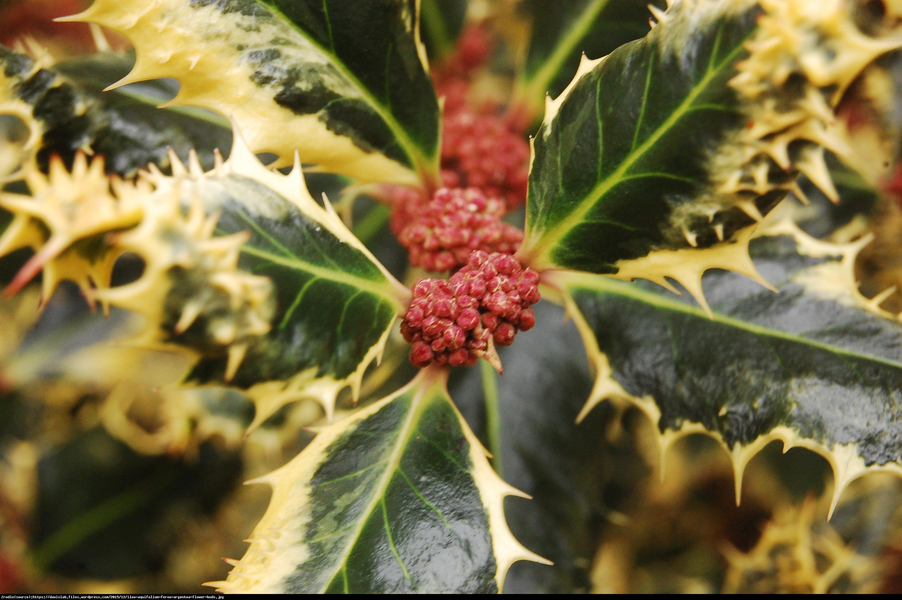 Ostrokrzew kolczasty Ferox Argentea  - Ilex aquifolium Ferox Argentea