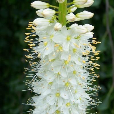 Pustynnik himalajski White - biały Unikat - Eremurus himalaicus White