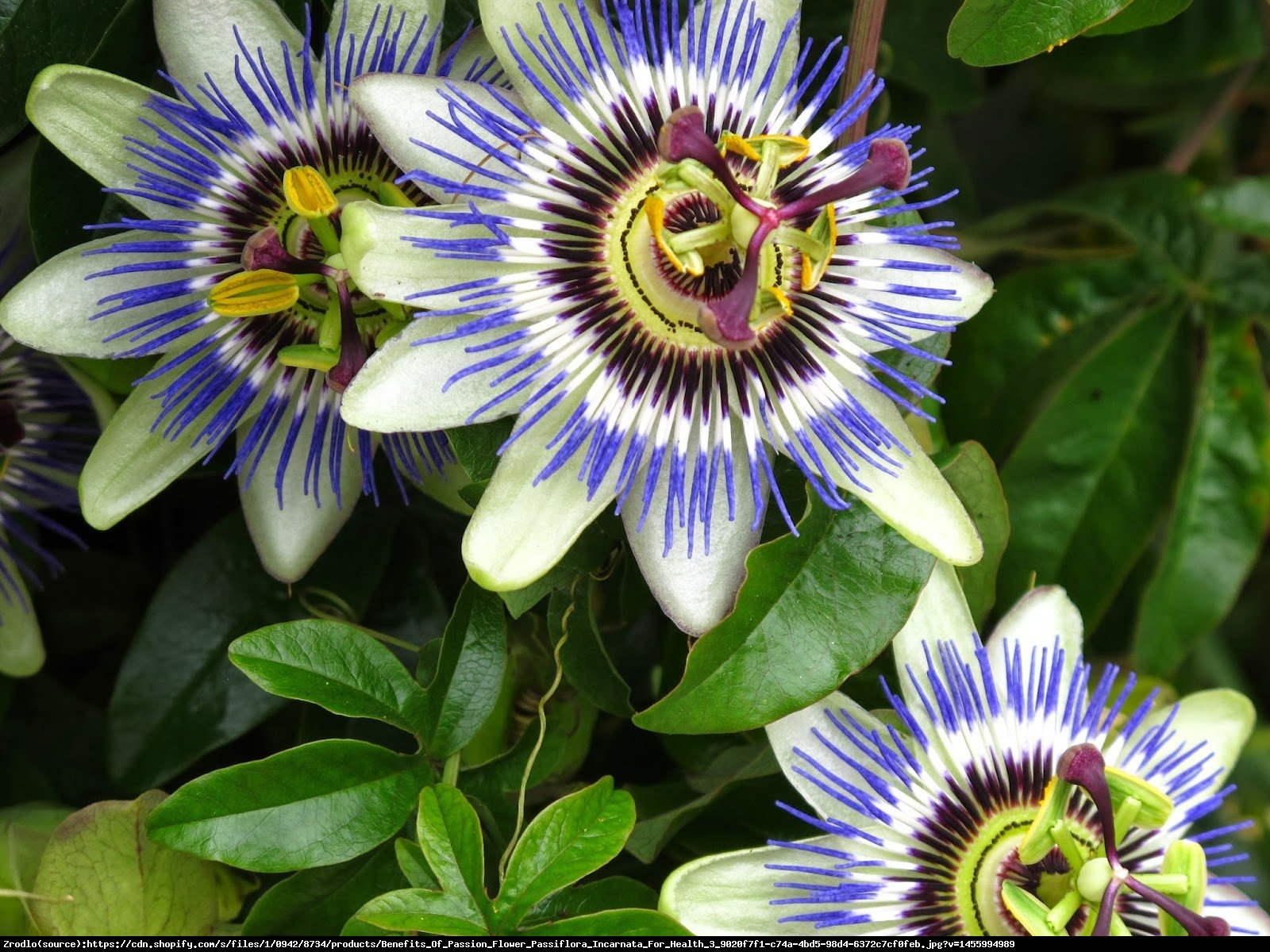 Męczennica błękitna - Passiflora caerulea