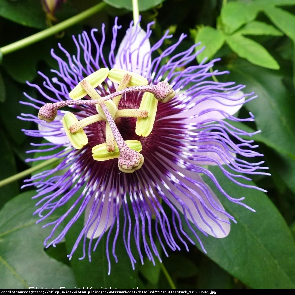 Męczennica Purple Haze  - Passiflora Purple Haze