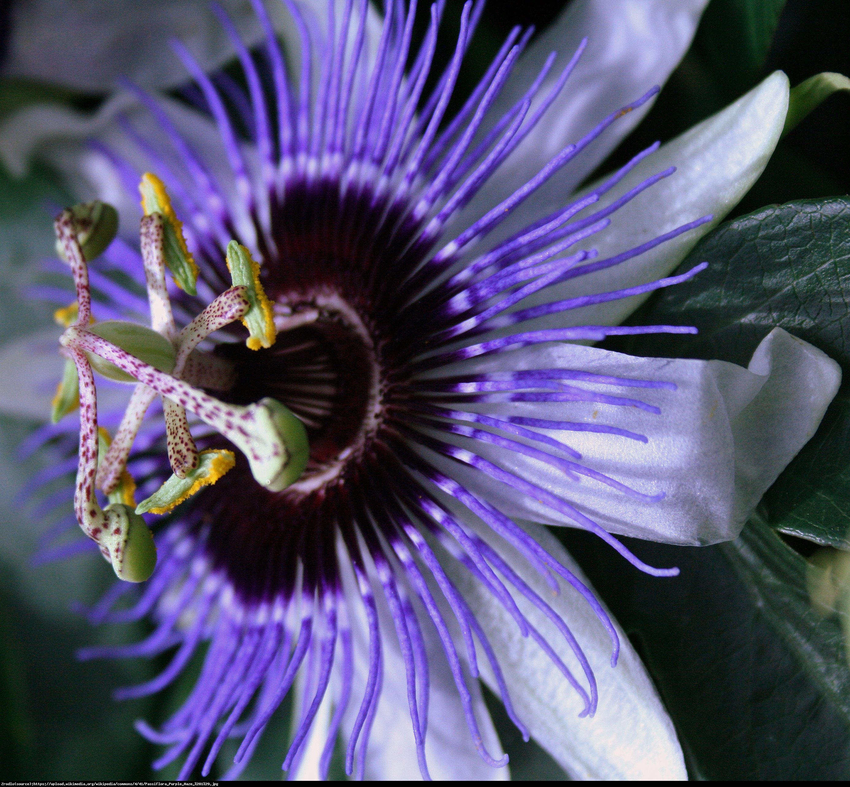 Męczennica Purple Haze  - Passiflora Purple Haze