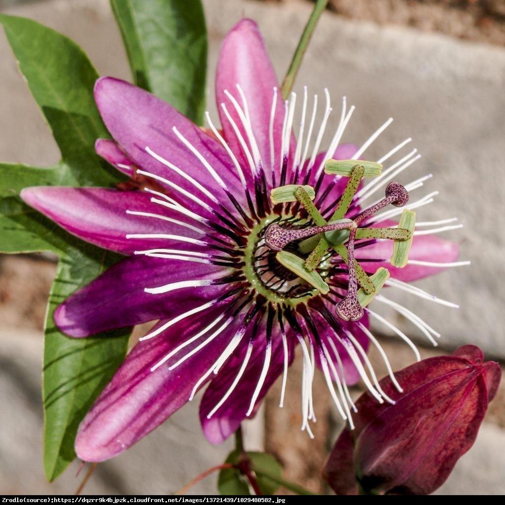 Męczennica Victoria  - Passiflora Victoria