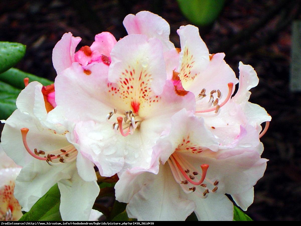 Różanecznik Simona - Rododendron  Siomona