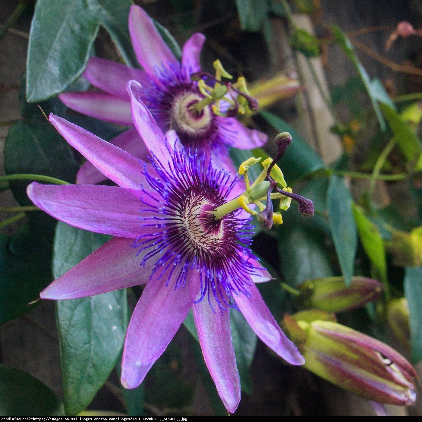 Męczennica Lavender Lady  - Passiflora Lavender Lady