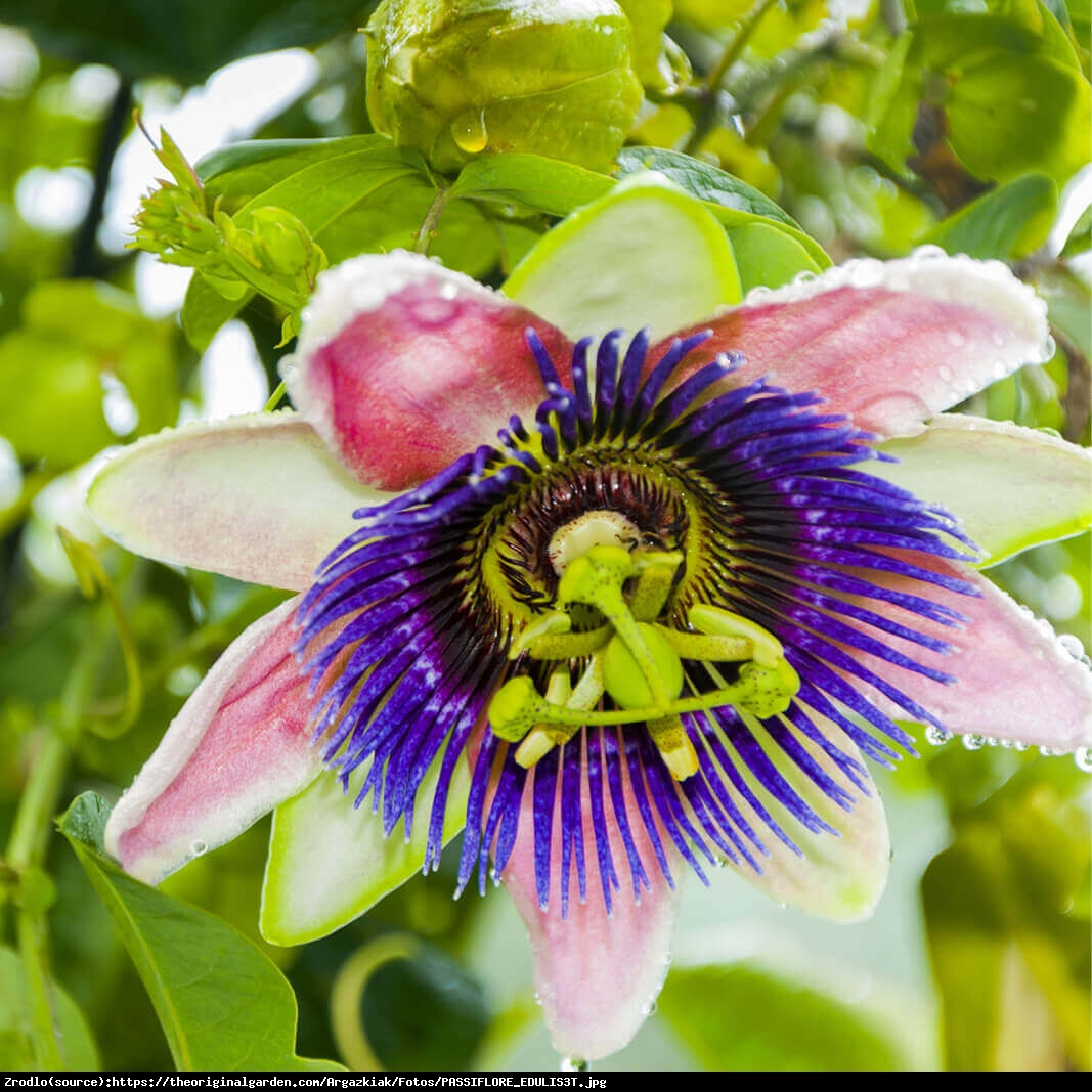 Męczennica jadalna MARAKUJA - Passiflora edulis