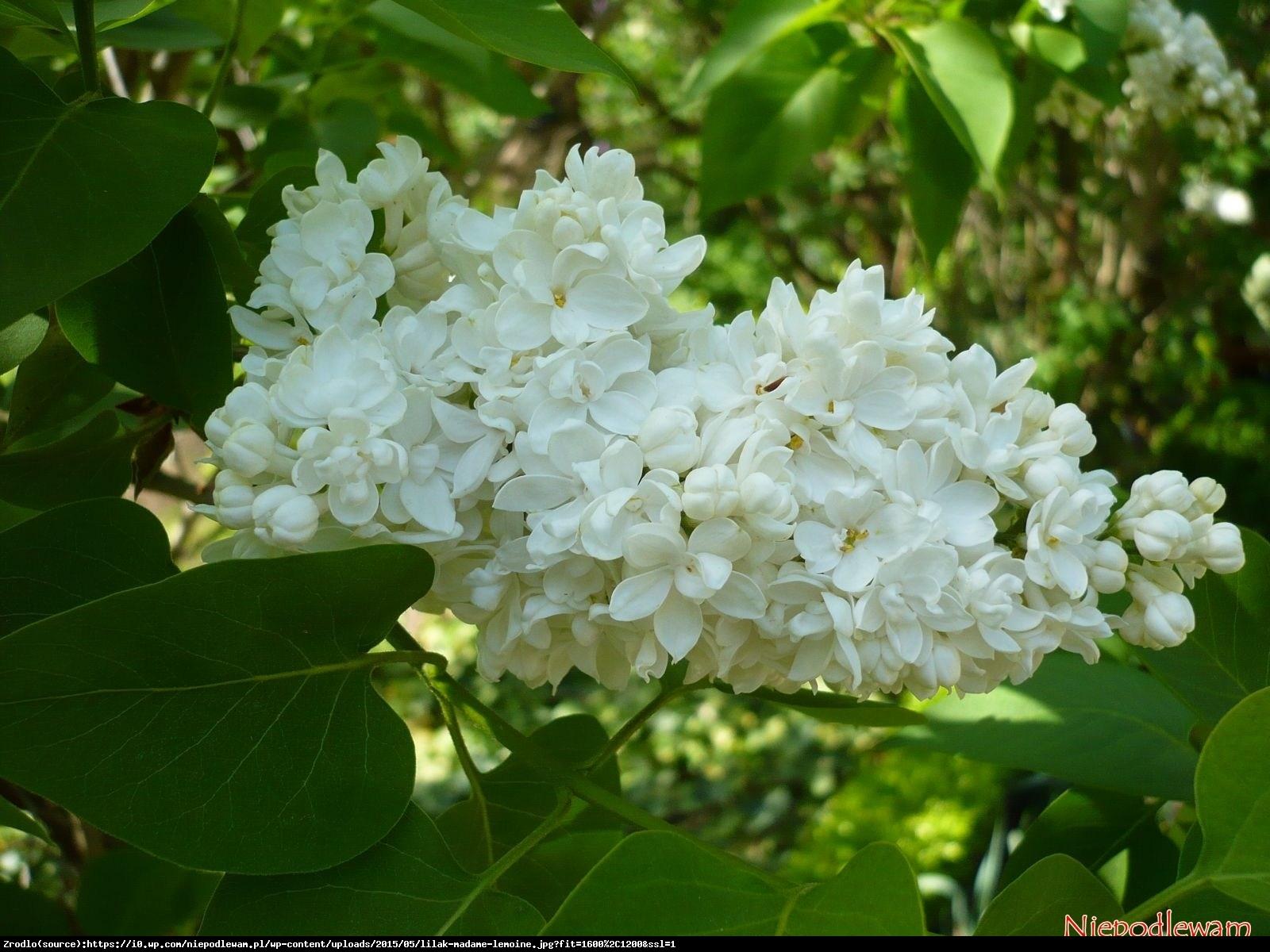 lilak pospolity  Mme Lemoine  - Syringa vulgaris  Mme Lemoine