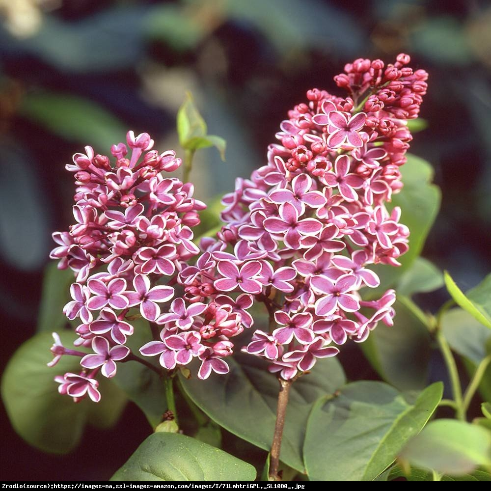Bez - lilak pospolity  Sensation  - Syringa vulgaris  Sensation