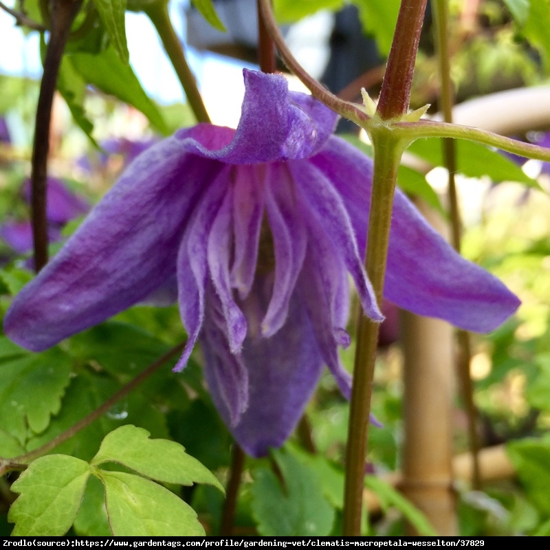 Powojnik  Purple Spider  - Clematis Purple Spider