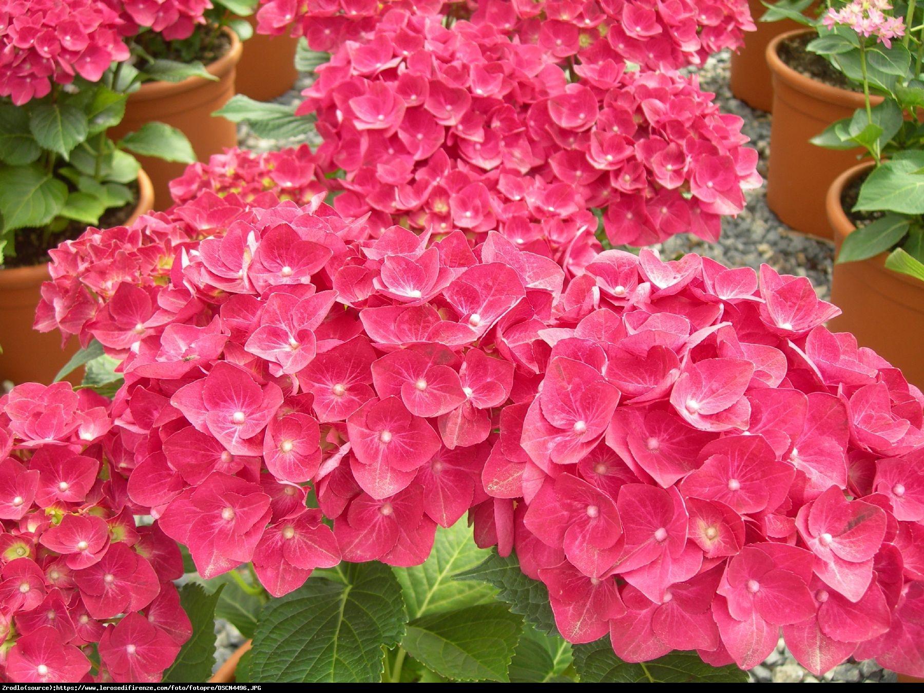 Hortensja ogrodowa Royal Red - Hydrangea macrophylla Royal Red