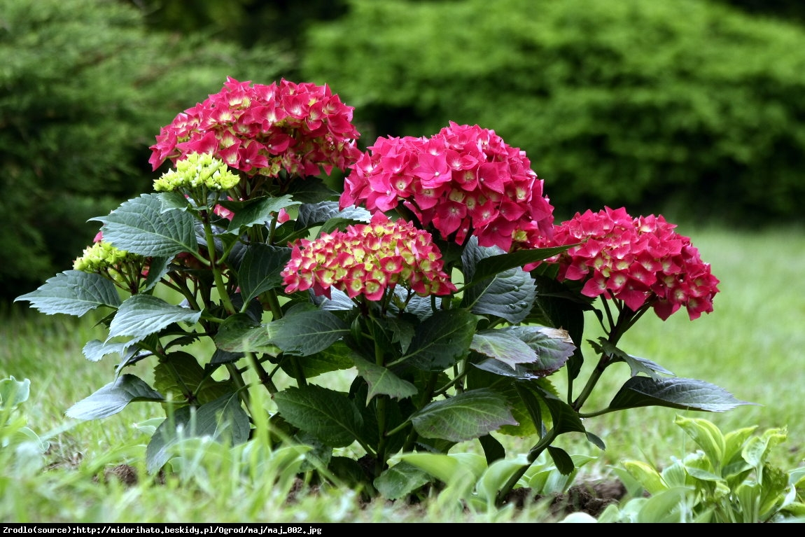 Hortensja ogrodowa Royal Red - Hydrangea macrophylla Royal Red