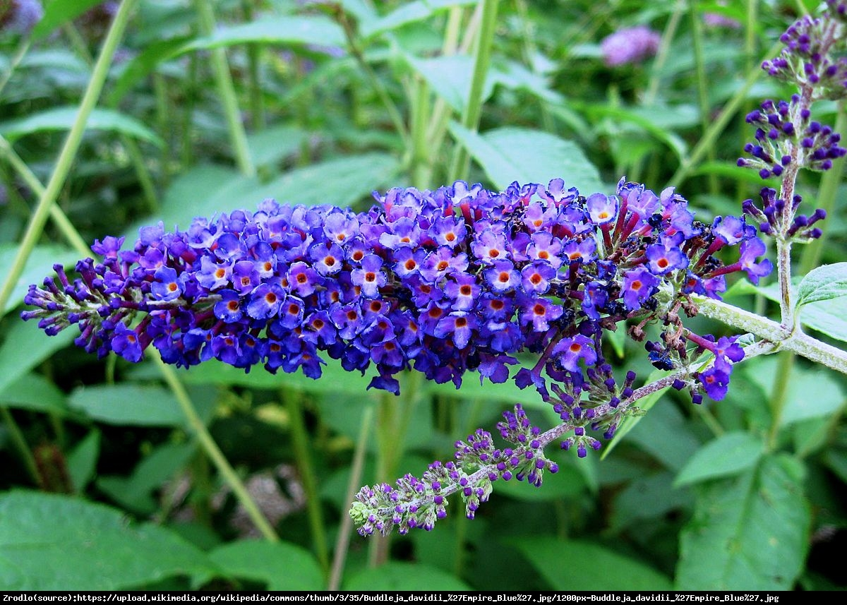 budleja Dawida Empire Blue - Buddleja davidii Empire Blue