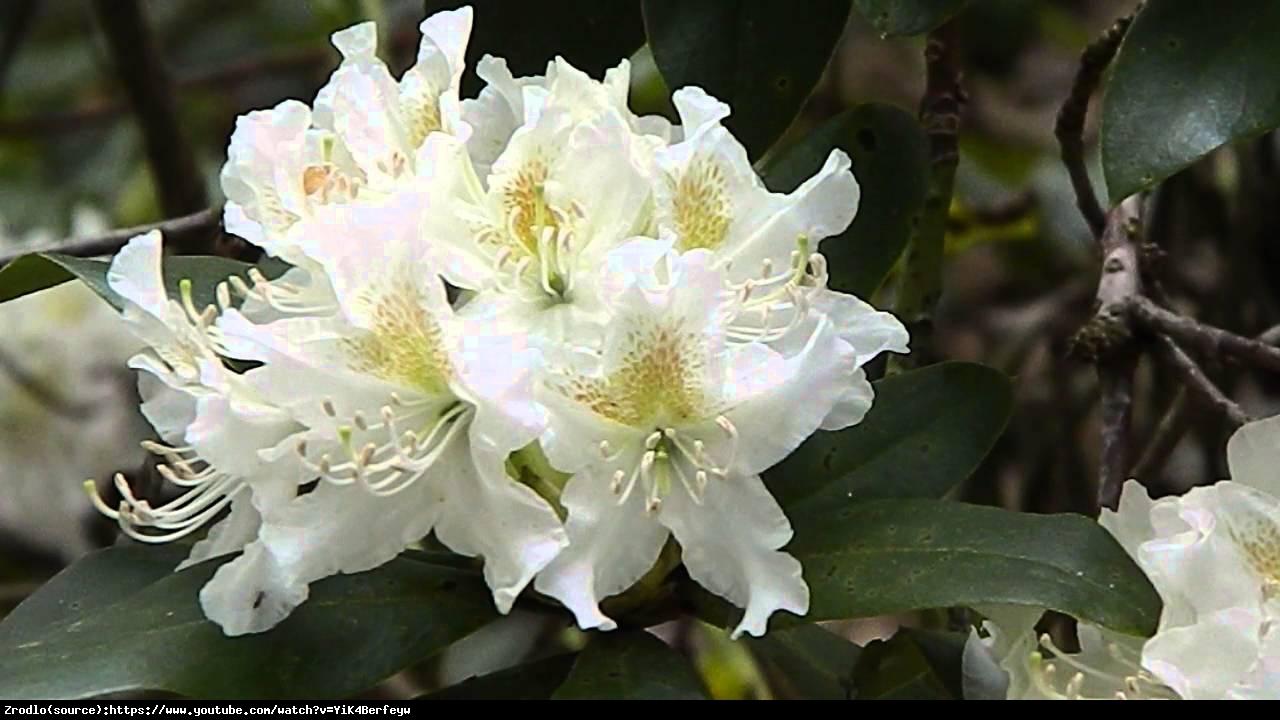 Różanecznik Cunningham's White - Rododendron Cunningham's White