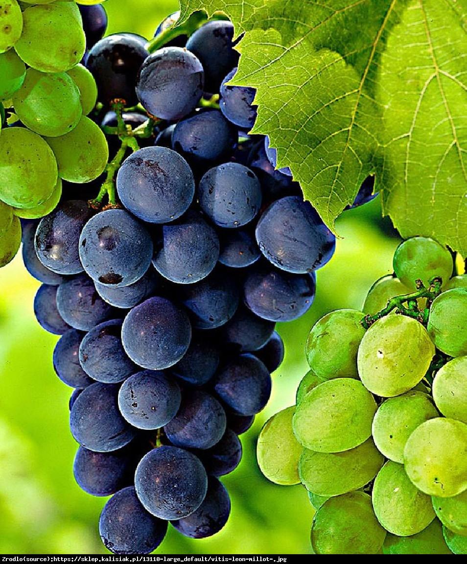 Winorośl winogrono Leon Milot - Vitis Leon Milot