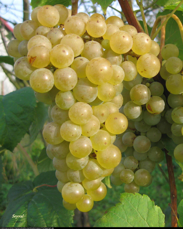 Winorośl winogrono Seyval blanc - Vitis Seyval blanc