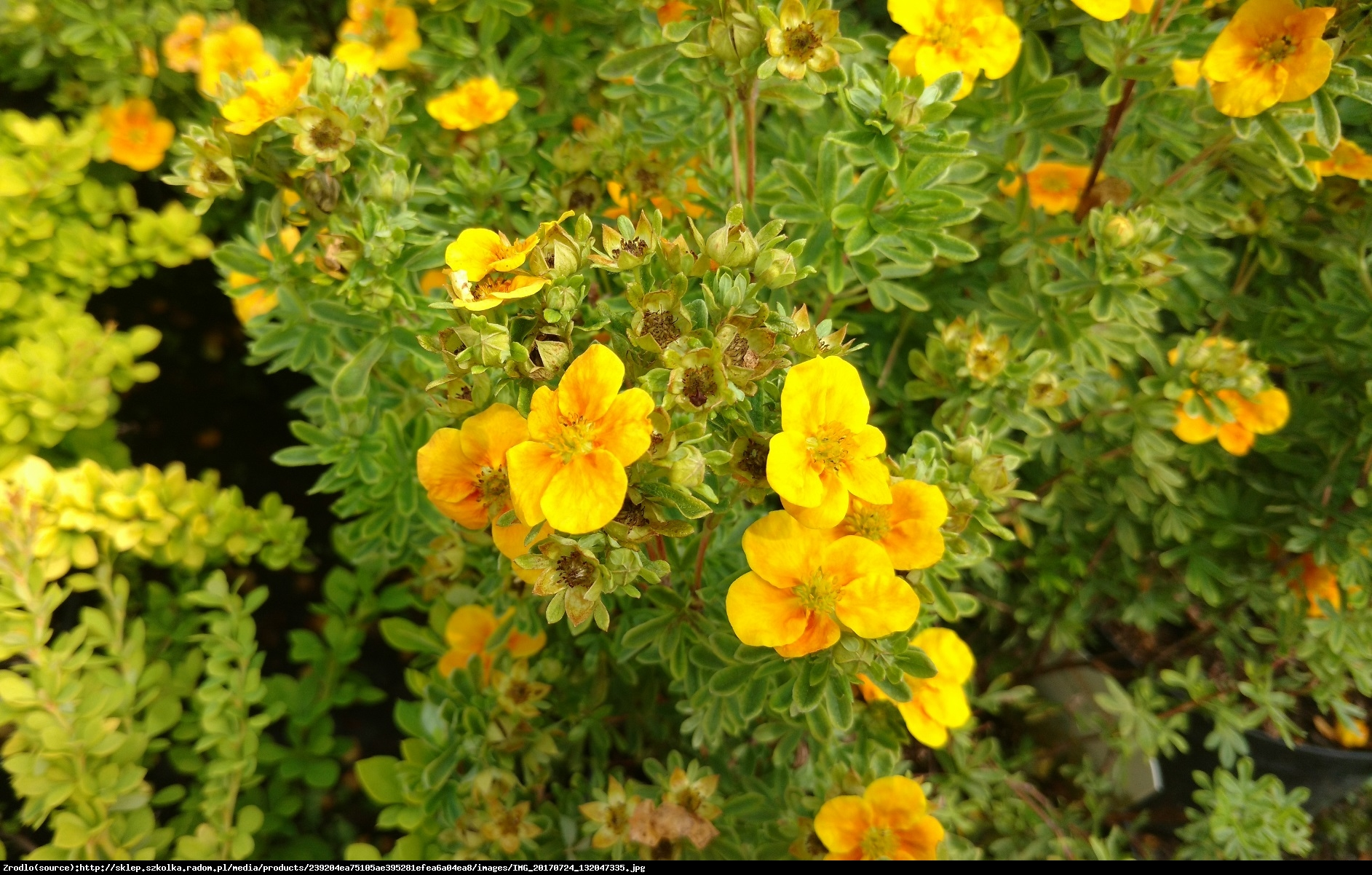 pięciornik krzewiasty MANGO TANGO - Potentilla fruticosa MANGO TANGO