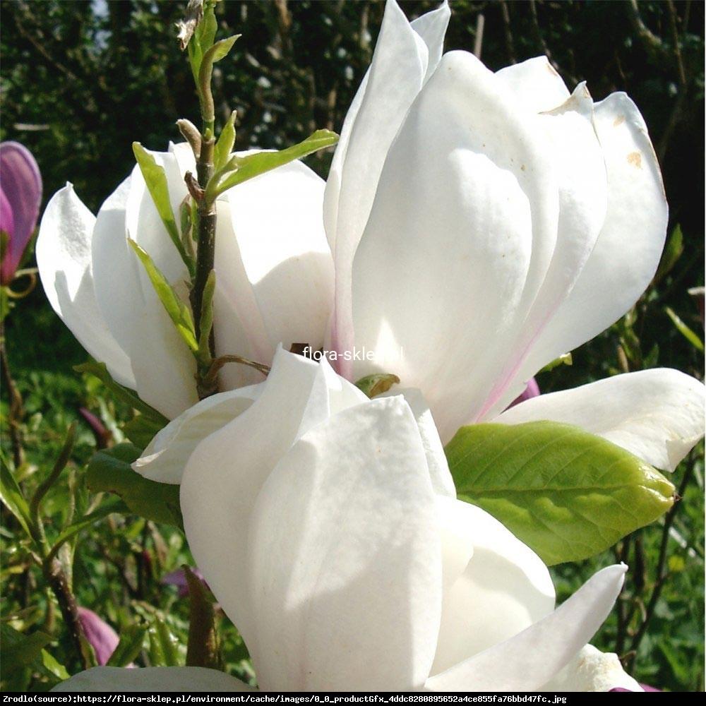Magnolia Soulangea Lennei Alba Duża - Magnolia soulangeana Lennei Alba