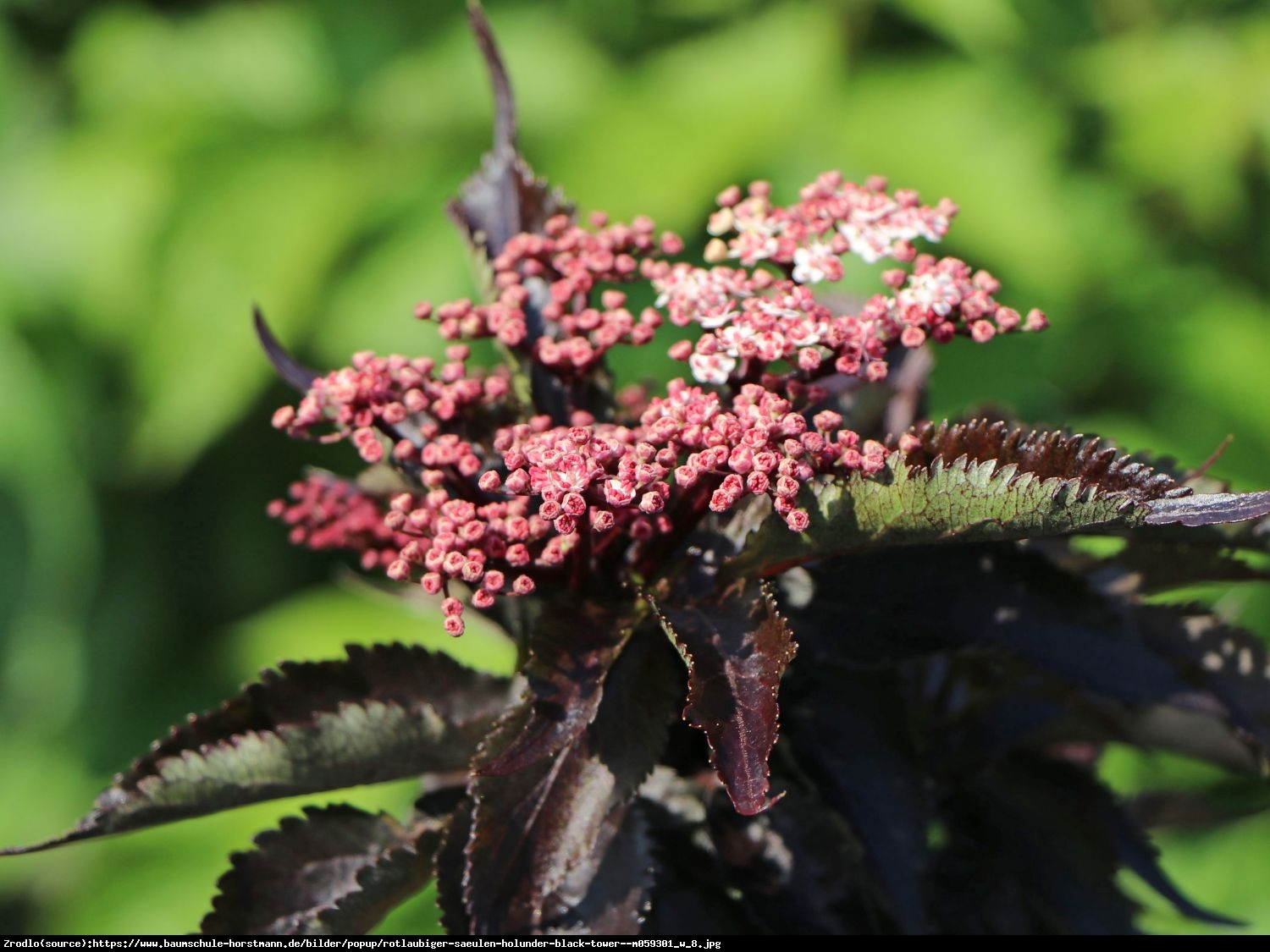 Bez czarny Black Tower - Sambucus nigra Black Tower