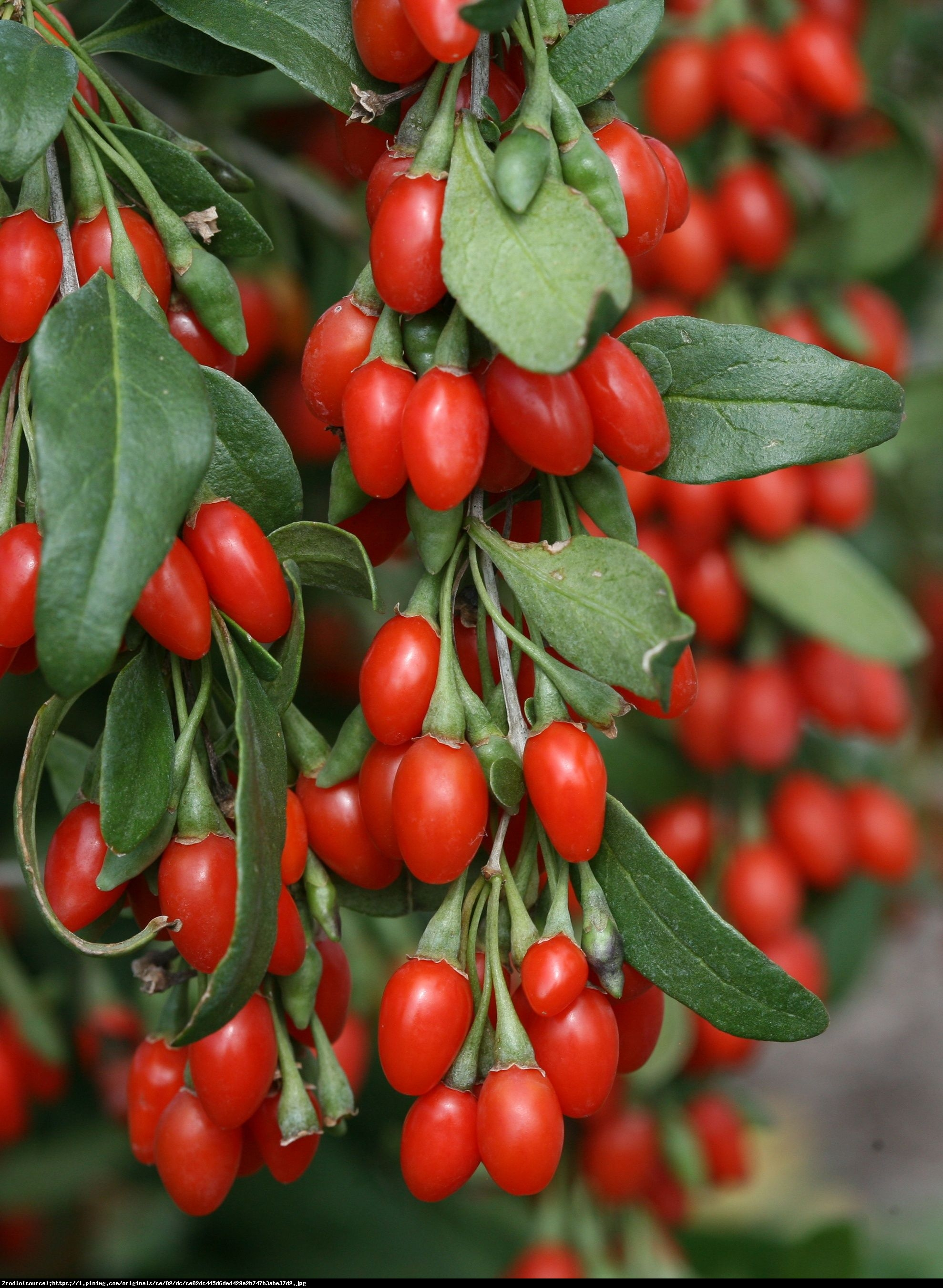 Jagoda Goji Big Lifeberry - Kolcowój pospolity - Lycium barbarum Big Lifeberry