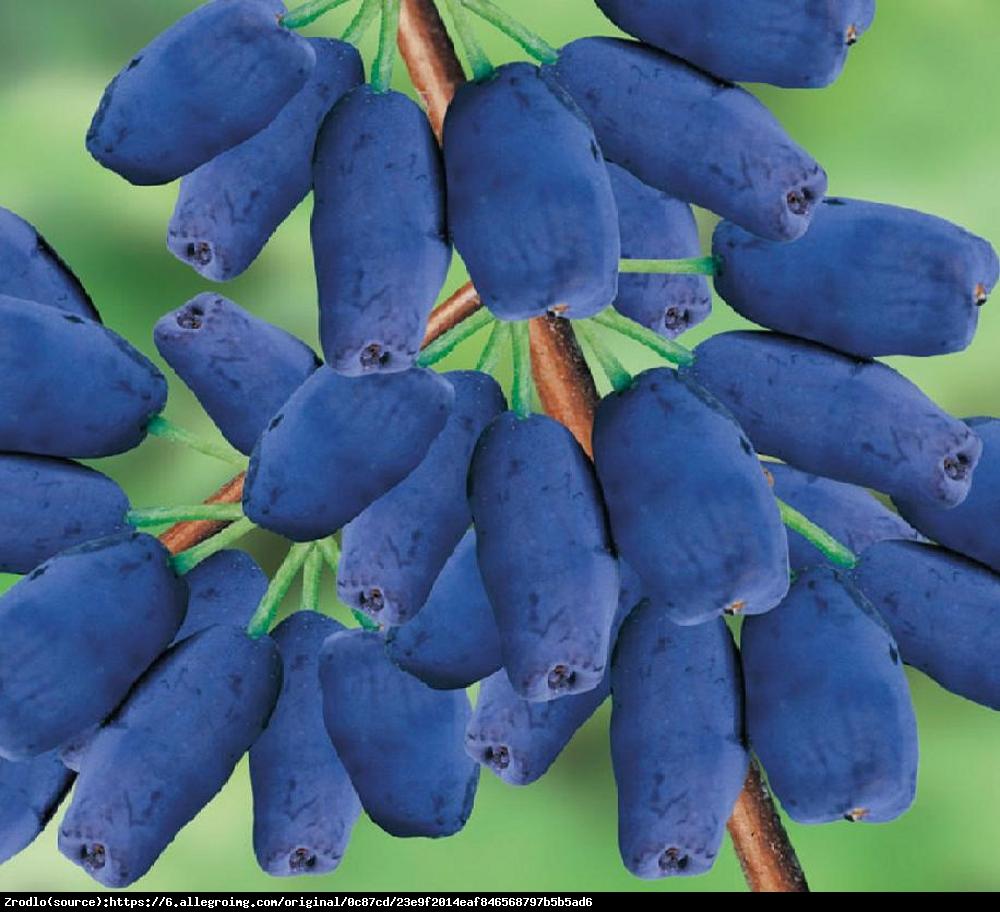 Jagoda kamczacka WOŁOSZEBNICKA - Lonicera orientalis var. longifolia