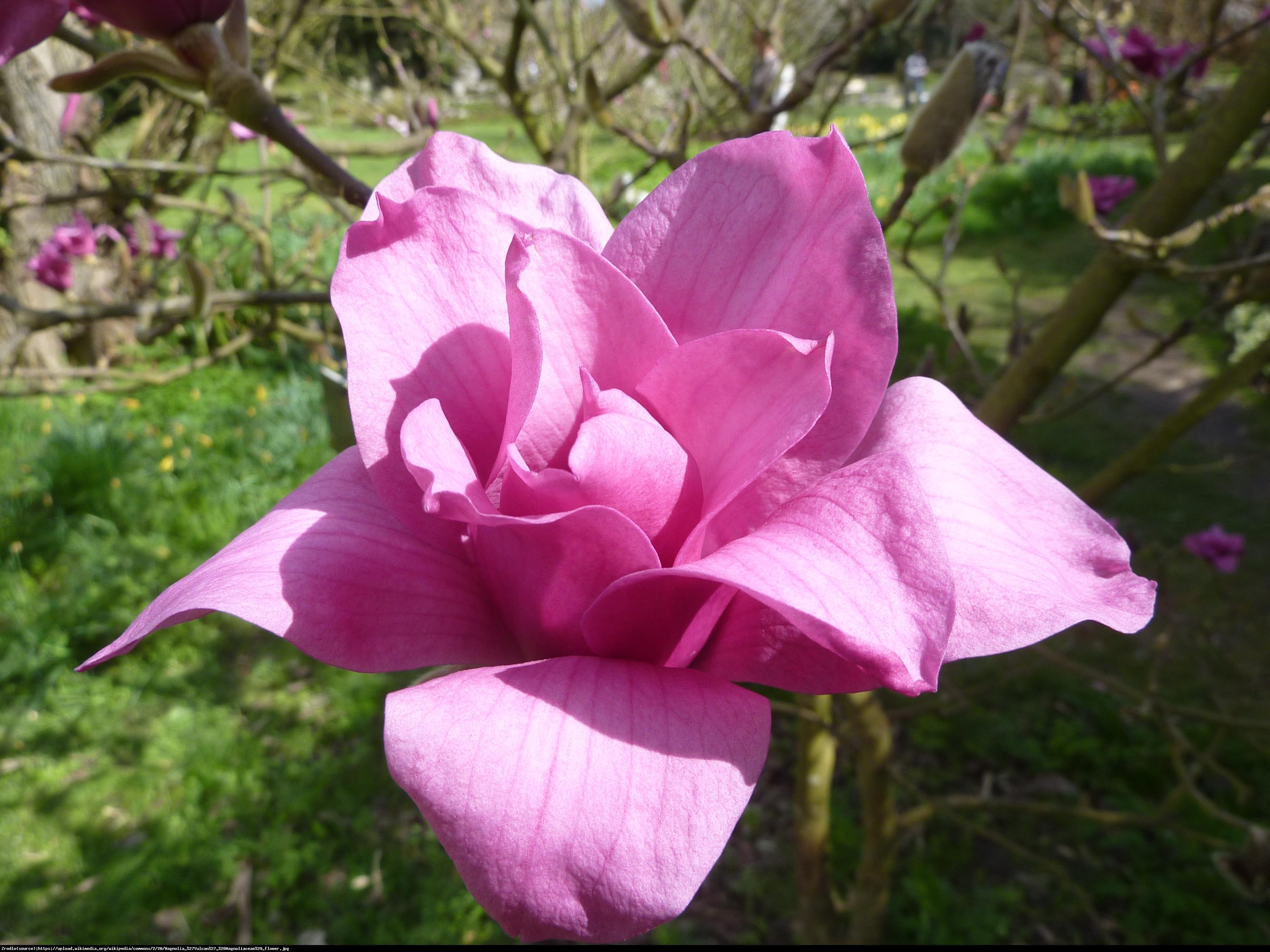 Magnolia Vulcan czerwona - Magnolia Vulcan