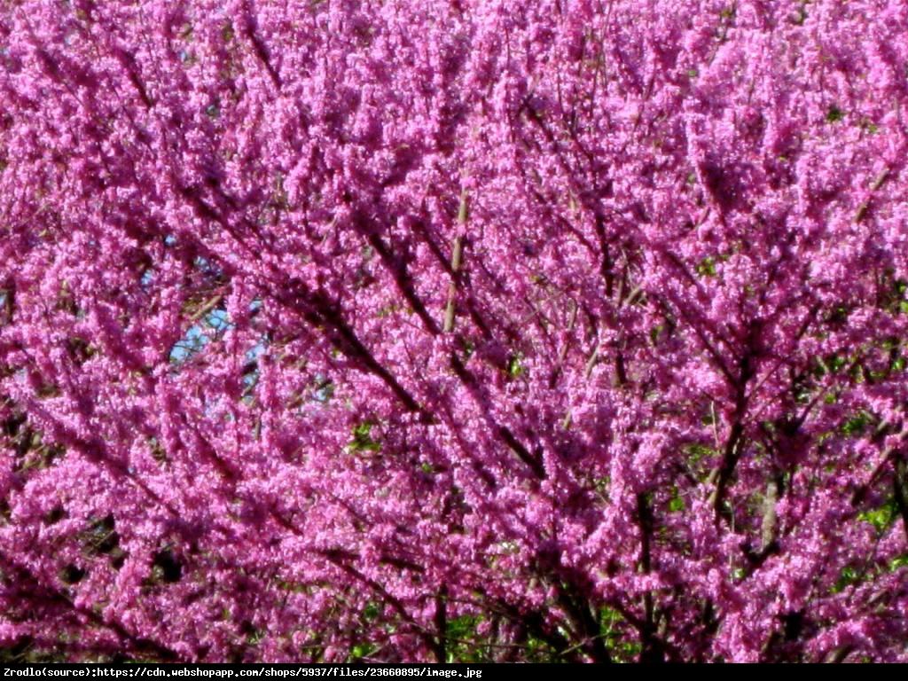 Judaszowiec kanadyjski Forest Pansy - Cercis canadensis Forest Pansy