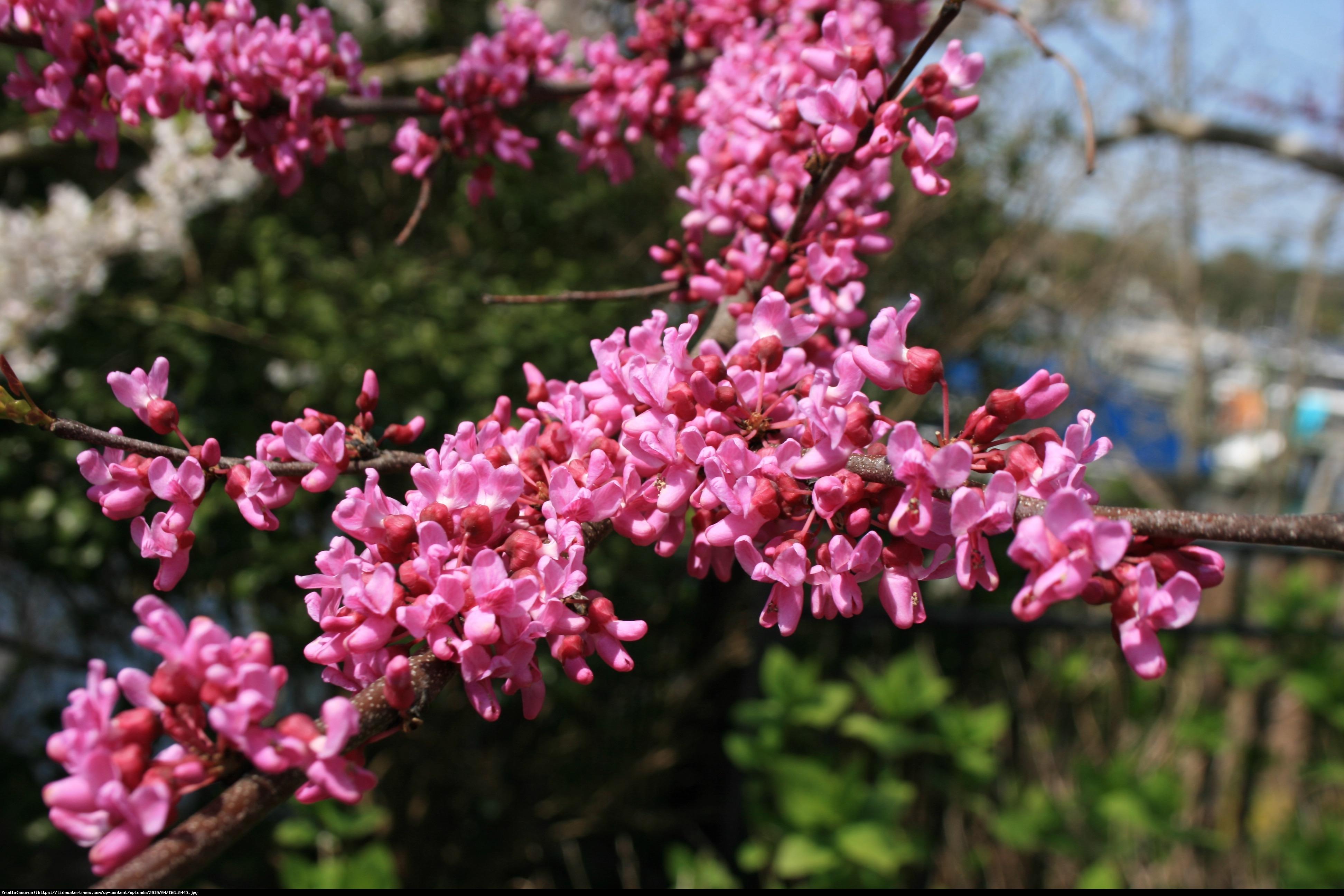 Judaszowiec kanadyjski Forest Pansy - BORDOWE LIŚCIE - Cercis canadensis Forest Pansy
