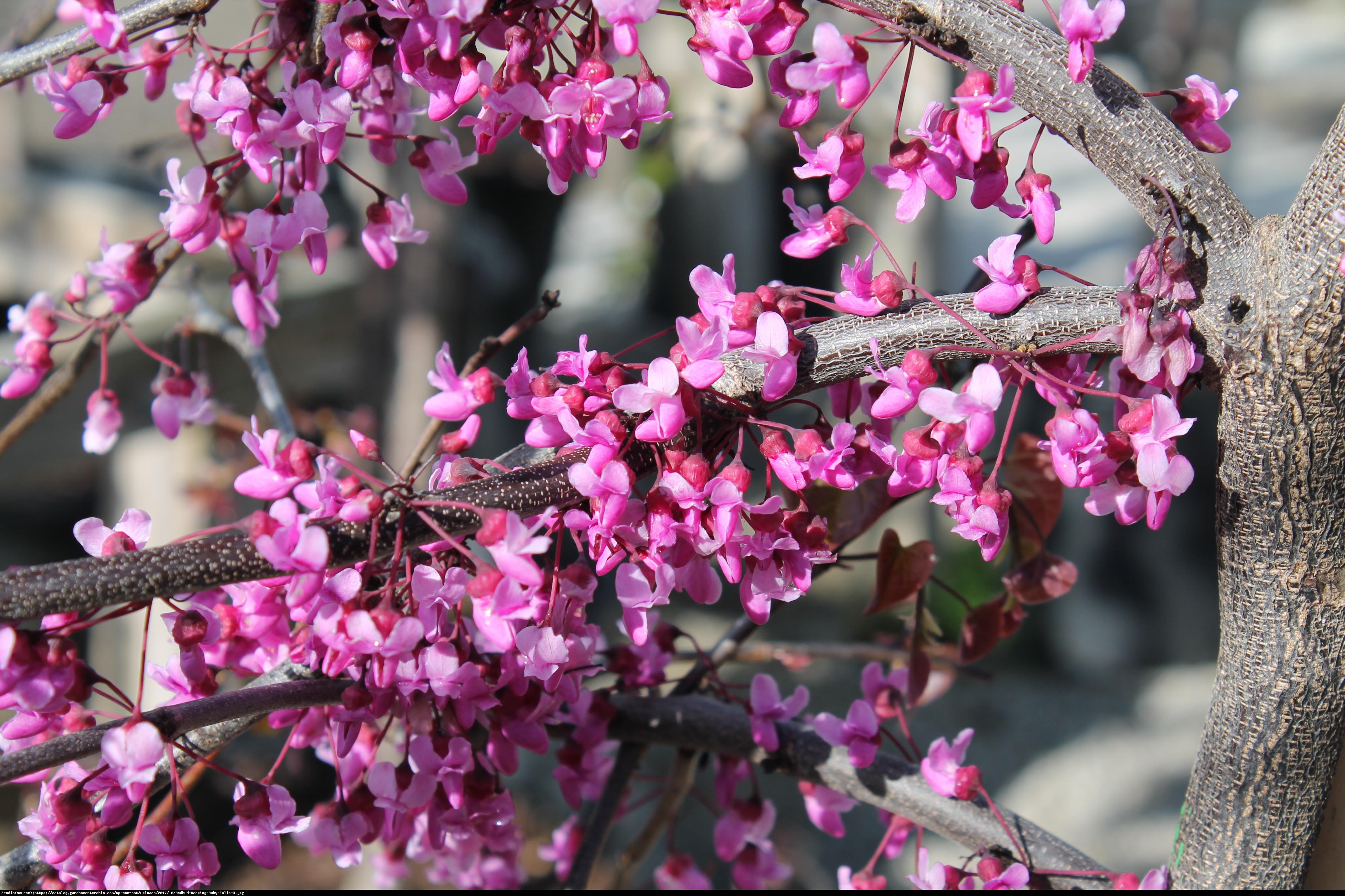 Judaszowiec kanadyjski Ruby Falls - Cercis canadensis Ruby Falls