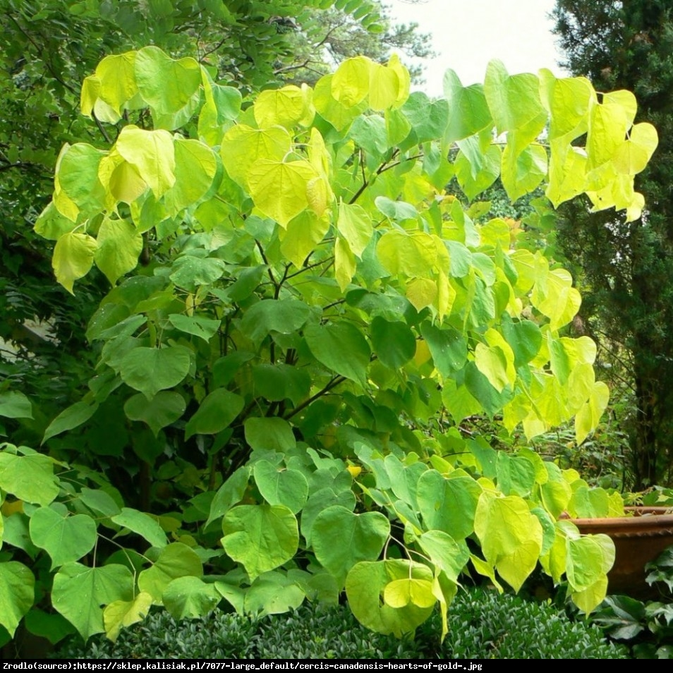 Judaszowiec kanadyjski 'Hearts of Gold' - Cercis canadensis 'Heart of Gold'
