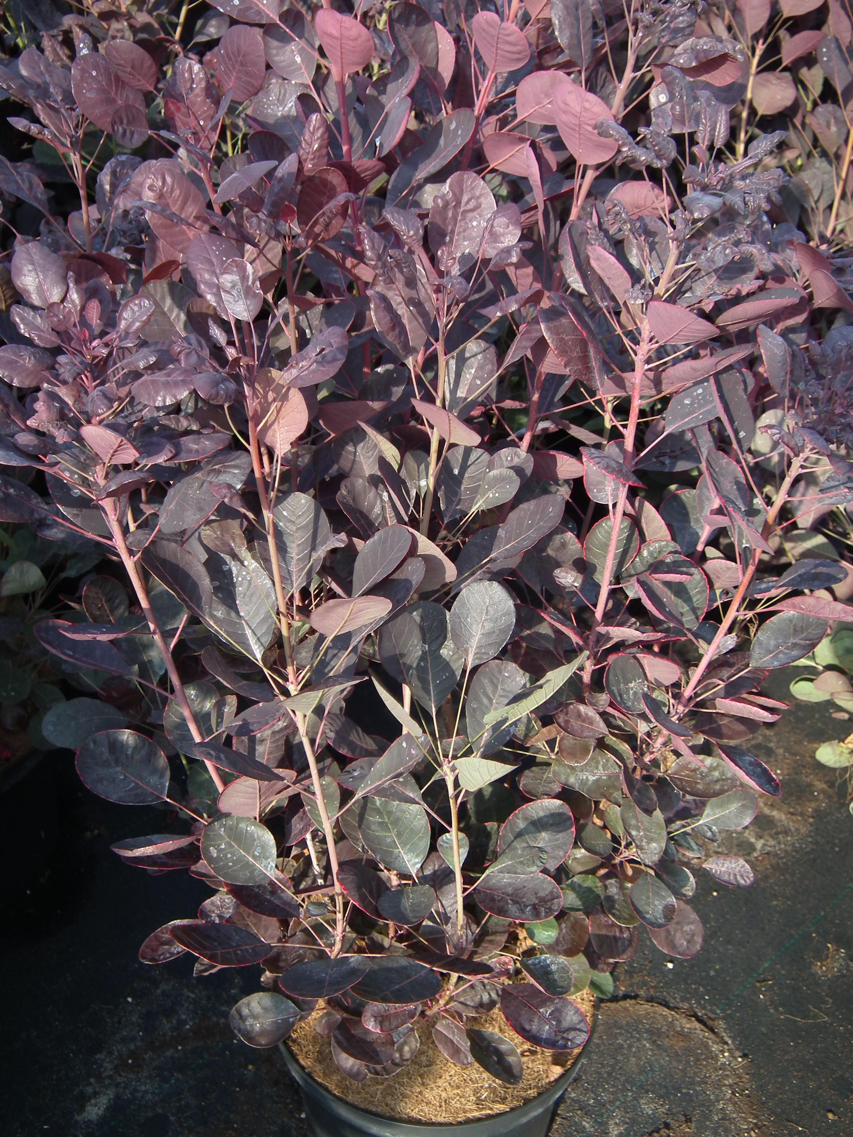 Perukowiec podolski Lilla - Cotinus coggygria lilla