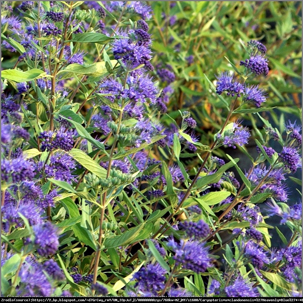 Barbula klandonska heavenly blue - caryopteris clandonensis haevenly blue